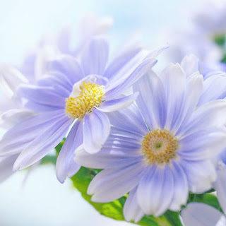 chrysanth-4761933