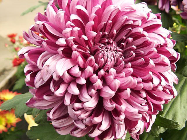 chrysanthemum_grandiflorum-5147655